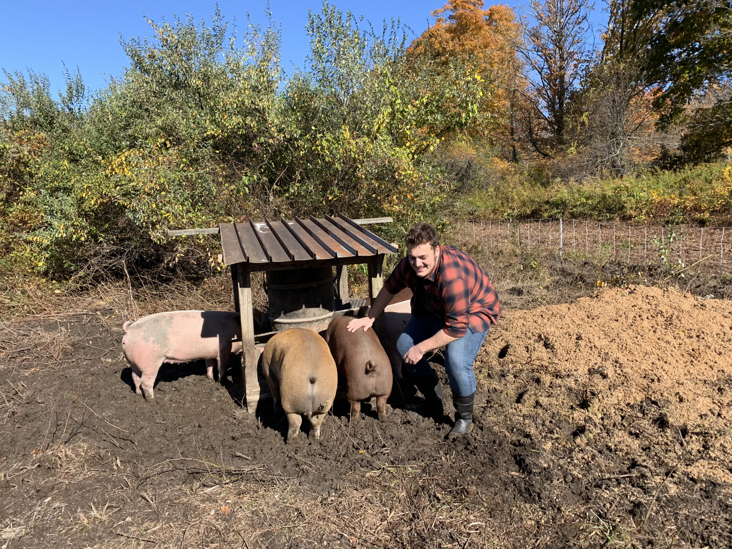 dyson with pigs