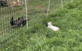dr. Fauci watches chickens